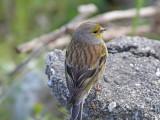 Korsikansk siska - Corsican Finch (Serinus corsicanus)