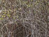 Gråhuvad sparv - Black-faced Bunting (Emberiza spodocephala)