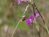 Prickvingad svävfluga - Bombylius medius (Bombylius medius)