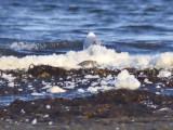 Tundrasnäppa - Western Sandpiper (Calidris mauri)