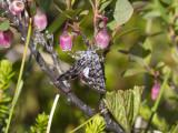 Vitvingat hedfly - (Sympistis heliophila)