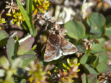 Fjällängsljusmott (Loxostege ephippialis)