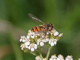Flyttblomfluga - Marmalade hoverfly (Episyrphus balteatus)