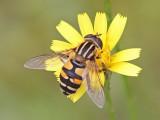 Pendelblomfluga - Brindled Hoverfly (Helophilus pendulus)