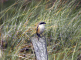 Rostgumpad törnskata - Long-tailed Shrike (Lanius schach)