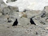 Alpkaja - Alpine Chough (Pyrrhocorax graculus)