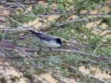 Arabsångare - Arabian Warbler (Sylvia leucomelaena)