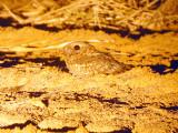 Nubisk nattskärra - Nubian Nightjar (Caprimulgus nubicus)