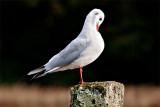 Black-headed Gull 18-10-11.jpg