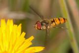Episyrphus balteatus male flying.jpg