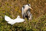 Week 16 - Heron with Egret in tree.jpg