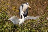 Week 16 - Heron with Egret in tree 2.jpg