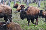A Mess of  Bison