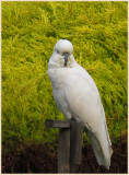 Cockatoo morning visit today
