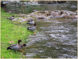 Wood Ducks Warburton