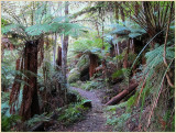 Forest walk - Warburton