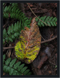 Decaying leaf on the forest floor