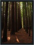 Californian Redwoods Gallery