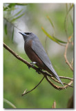 White - browed Woodswallow