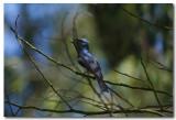 Satin Flycatcher