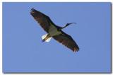 Straw - necked Ibis