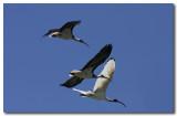 Straw - necked & White Ibis