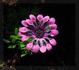 Osteospermum - Pink Wirls