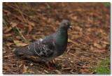 Rock Doves - Pidgeons