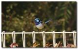 Superb blue wren - male