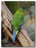 Orange - bellied Parrot