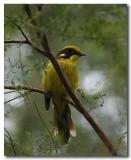 Yellow - tufted Honeyeater  - Series