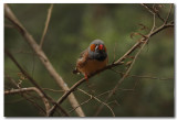 Zebra Finch - Series - 3 Images