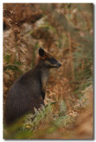 Swamp Wallaby - Series