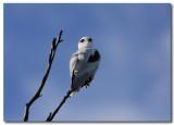 Black - shouldered Kite series