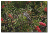 Little Wattle Birds