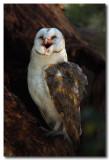 Barn Owl  - laughing
