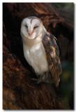 Barn Owl  - sleepy