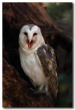 Barn Owl  - showing tongue