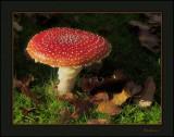 Amamita Muscaria Fungi
