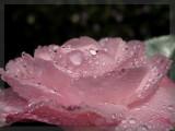 Camellia full frame macro 4