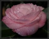 Camellia full frame macro