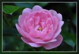 struikroos  rose