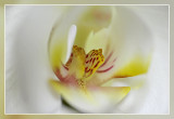 orchidee macro