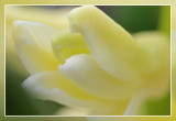 macro Hyacint