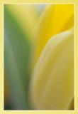 tulp - tulip - tulipe abstract