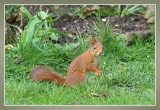 rode eekhoorn - Sciurus vulgaris
