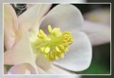 close-up akelei white rose