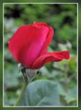 roos Dame de Coeur