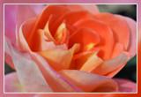 roos - rose: Sea Pearl Floribunda Dickson 1964
