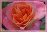 roos rose: Sea Pearl Floribunda Dickson 1964